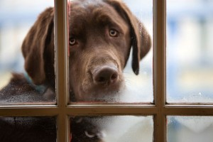 Dog looking in window
