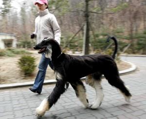 Cloned dog