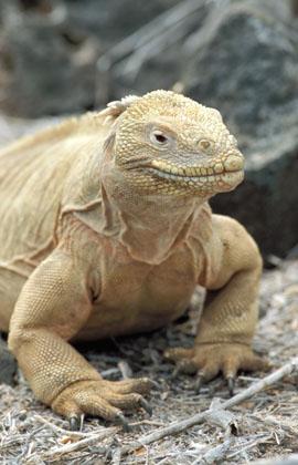 conolophus-pallidus-iguana-galapagos