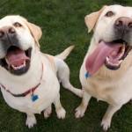 Labrador retrievers sniff cancer