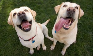 Labrador retrievers sniff cancer