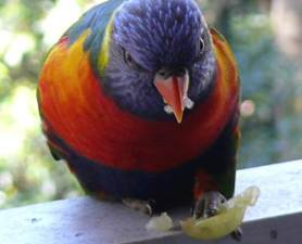 Left handed parrot
