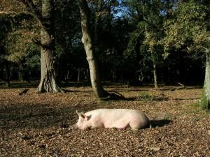sleeping-pig