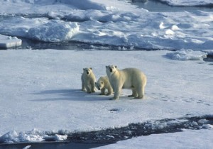three-polar-bears-climate-change