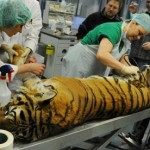Tiger gets hip replacement